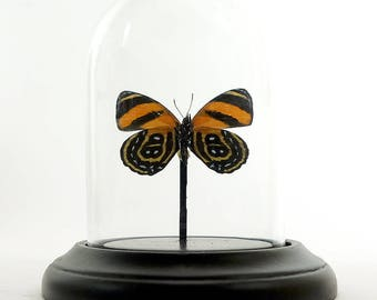 Glass dome small with butterfly Callicore Eunomia