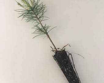 White Pine/Balsam Fir Seedlings  --- Weddings/Favors/Memorials