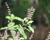 Tulsi (Holy Basil) Flower Essence