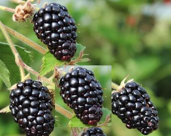 TWO Blackberry Ark freedom - Thornless, Live plants, Primocane, Rubus