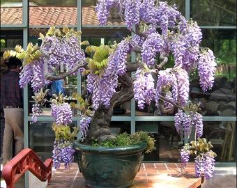 WISTERIA FRUTESCENS 'Amethyst Falls' - Flowering LIVE Plant - Bonsai - Landscape