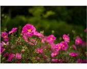 Pink flowers in the Park...