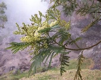 50  Acacia mearnsii Seeds, black wattle Seeds