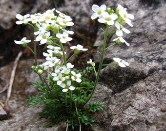 20 Hutchinsia alpina Seeds, Hornungia alpina Seeds, HUTCHINSIA affinis,