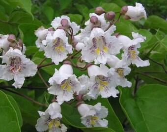 100  Seeds Catalpa fargesii ,Chinese Bean Tree Seeds