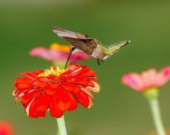 Hummingbird Photography, Hummingbird Picture, Photo of a Hummingbird, Hummingbird Lover Gift, Bird Photography, Hummingbird Art