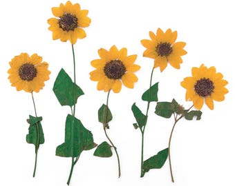 Pressed flowers miniature yellow sunflower 10pcs for floral art craft card making scrapbooking, jewellery making
