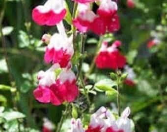 SALVIA MICROPHYLLA 'Hot Lips' - Starter Plant