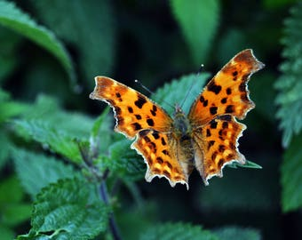 Comma Butterfly Resting   Photography Print   Art Print   Wall Art   Nature Photography   Nature Print   Insect Photography   Insect   green