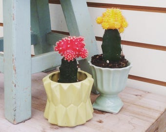 Grafted Cactus Plant