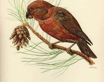 Vintage lithograph of the parrot crossbill from 1953