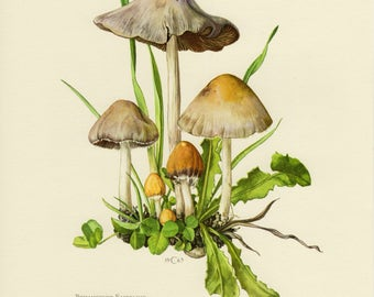 Vintage lithograph of the pale brittlestem from 1963