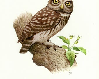 Vintage lithograph of the little owl from 1958