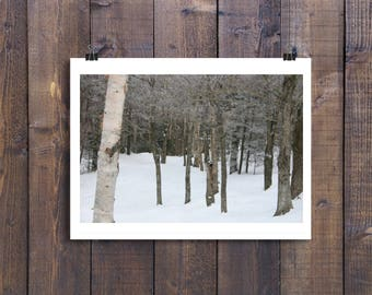 Birches (Birch Trees) on the Mountain in Winter Fine Art Photograph
