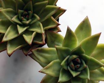 1x Echeveria agavoides 'lipstick' succulent