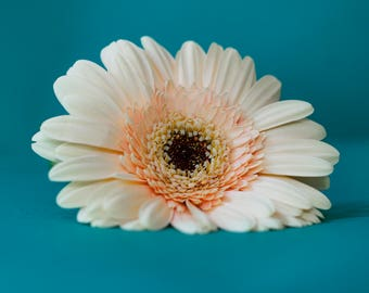Peach Flower Gerbera print