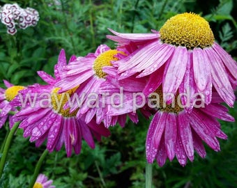Digital photography/ flower photography / flowers/ waterdrops / printable photo / art
