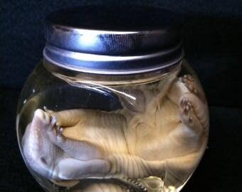 Armadillo Fetus In a Glass Jar