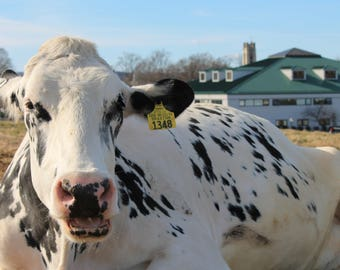 """Lily"""" Dairy cow"""
