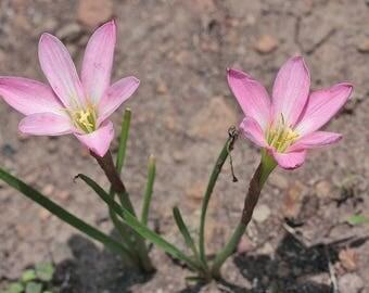 20 seeds bulbs Zephyranthus 'Candida'