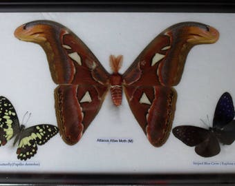 REAL BUTTERFLIES MOTH(M) Taxdermy Frame/BF03N