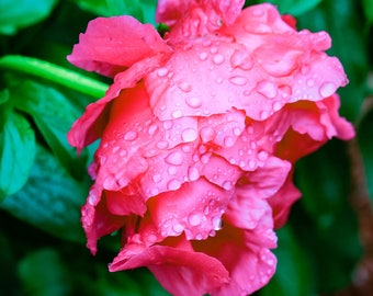 Peonies in the Rain