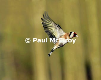 Goldfinch with gold striped wing