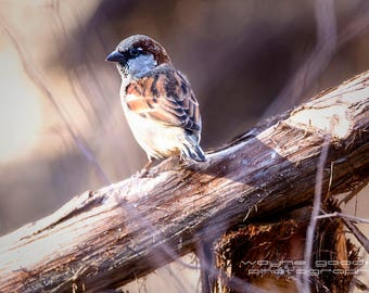 Texas Hill Country Sparrow Lady Bird Johnson Nature Trails, Landscape, Nature Photography, Home Decor, Interior Design