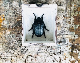 Faux Taxidermy Beetle||Gift For Entomologists||Curiosities||Oddities||OOAK