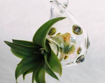 Mini Tillandsia in Hand Blown Glass