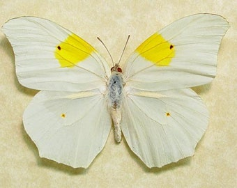 Real Framed Flower Shaped Butterfly Anteos Chlorinde Butterfly 490