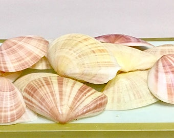 Seashells - 10 Tellina Vergata Shells - bulk shells, beach decor, wedding decor sea shells
