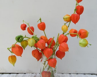 Dried Chinese Lantern seed pods and stems. Halloween . Physalis alkekengi plants, for crafts  and arrangements LOT I