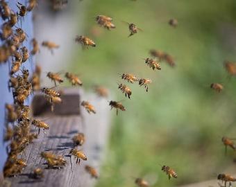 Honeybees with pollen