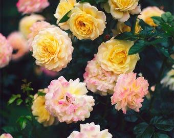 Rose Garden II - Fine Art Photograph, Flower, Nature, Garden Photography, Floral, Room Decor, Wall Art