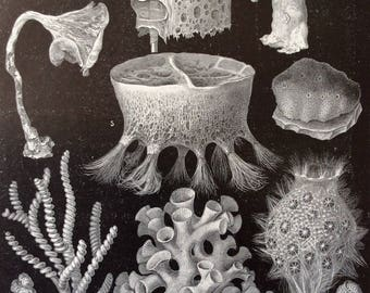 Antique 1890s German Print SEA SPONGES OCEAN