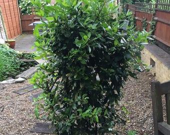 Bay Leaves Freshly picked from my own Bay Tree in UK 20g