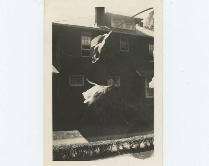 Flowering Vine Outside Window: Vintage Photo Snapshot (76586)