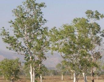 100 White Gum Tree Seeds, Eucalyptus Alba