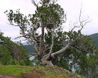 100 Rocky Mountain Juniper Tree Seeds, Juniperus Scopulorum