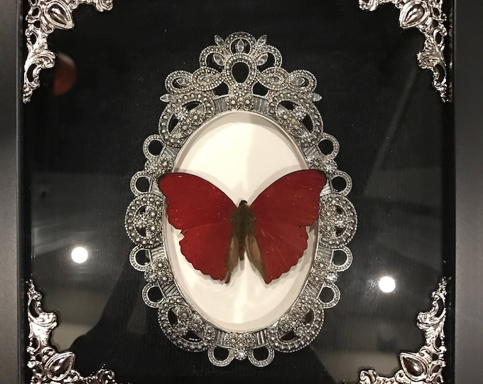 Best seller! Red flasher butterfly taxidermy display!