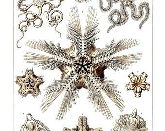 Ernst Haeckel's Vintage Artwork Ophiodea