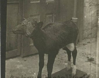 Two headed calf cow antique rppc photo