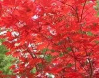 Fireglow Japanese Maple - Live Plant - Trade Gallon Pot