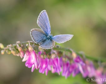 Blue Alaskan Butterfly on Pink Eskimo Potato Pea Flowers - Nature and Wildlife Photography Wall Art - Wild Garden Butterfly Summer Art