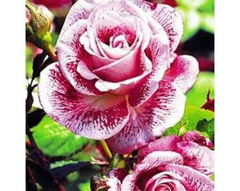 Red white roses seeds,meteor shower roses seeds, 536 , rose, Colorful rose,flower seeds, roses from seeds, seeds for roses, gardening