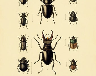 Beetle  art print Antique  Prints Nature print Vintage prints home decor wall art Natural History Victorian art old prints Bug art  print