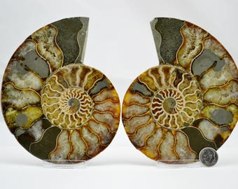 E4815x Fossil Pair Ammonite Great Color Crystal Cavities With Pyrite XLARGE 56 142mm