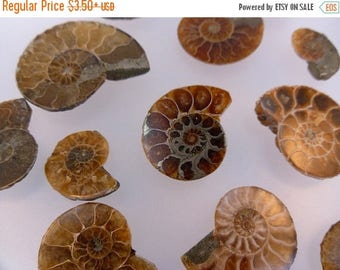10% off July 4th Ammonite Fossils Choose as many as you need