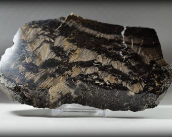Incredible, Fluorescent, Flowery, Big and Thick Sawn Slice of Fossil Lepidodendron Tree Trunk - Polished One Side - Knoxville, Iowa